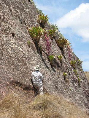 Tillandsia australis BOL El Fuerte de Samaipata 3.jpg