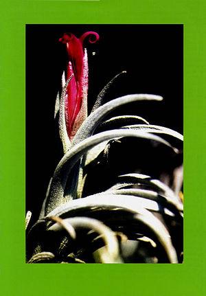 DIE BROMELIE - 1996(3) back.jpg